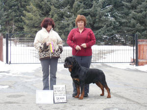 male rottweiler competes in rally o