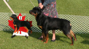 Male rottweiler at the Rottweiler Club of Canada Nationals - July 2009
